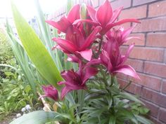 This is one of my Lilies.