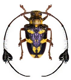 Phacellus cuvieri is a species of beetle in the family Cerambycidae. It is known from Brazil Amphibians, Reptiles, Insect Orders, Longhorn Beetle, Timorous Beasties, Beetle Bug, Beautiful Bugs, Animal Species, Bugs And Insects