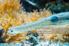 Smooth cornetfish, or smooth flutemouth