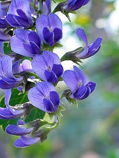 Texas Mountain Laurel is one of the newer plants in my garden. These are slow growers, but have blooms that look like our state flower, the bluebonnet.