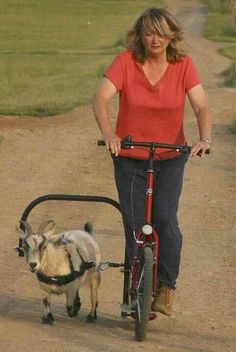 #goatvet say this is a great way to ensure your goat doesn't get too fat