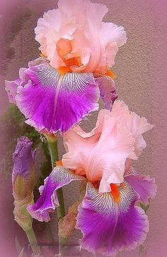 Gorgeous, did I say i L♡VE flowers, both my gradmothers were green thumbed avid gardeners. At one psoint I thought i had tgeir patience and touch. Maybe again one day when things are a bit more settled and i am not running this personal coropration called my life.♡♡♡wunderschön / Savannah Fair Bearded Iris