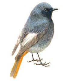 Wil je iets weten over de Zwarte roodstaart? Kijk in de online vogelgids van Vogelbescherming. http://www.vogelbescherming.nl/zwarteroodstaart/play