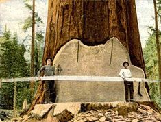 Big Tree Felled By 28 ft Saw