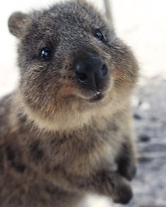 The best thing about Rotto. So adorable I'd like to take them all… Penguin Animals, Happy Animals, Farm Animals, Animals And Pets, Cute Animals, Funny Baby Pictures, Baby Animals Pictures, Country Critters, Quokka