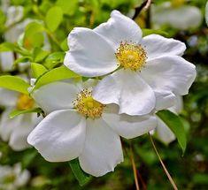 """A Rosa Trepadeira Cherokee produz flores que se fecham ao anoitecer, motivo pelo qual são designadas """"singelas""""! Rosas trepadeiras são hibridas que foram desenvolvidas para função de trepadeira. Os galhos são mais flexíveis, mas as características da flor (beleza e perfume) se mantém. Seus ramos chegam a atingir mais de 6m de comprimento e ficam repletos de rosas. Florescem diversas vezes na primavera, verão e outono, dando um intervalo no inverno. Os ramos podem ser conduzidos, podados e…"""