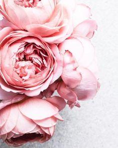 Peony bloom | Floral aesthetic | Pink things | Pastel