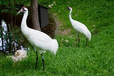 Whooping Cranes, photo by Randi Kuhne. Brought back from the edge of extinction whooping cranes are raised in Wisconsin and taught to migrate to Chassahowitzka, just south of Homosassa. (http://operationmigration.org/) This pair lives in the park.