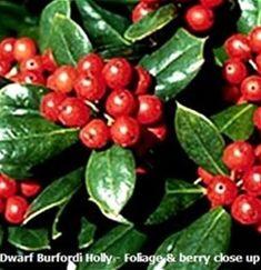 dwarf burfordi holly (self pollinating) hedge 6-10' high, 5-6' wide semi shaded is ok