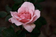 Kristy Edwards' October rose