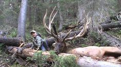 Biggest bull elk taken in the state of UTAH in the year of 2011 Bow Hunting Deer, Big Game Hunting, Trophy Hunting, Hunting Rifles, Hunting Season, Hunting Outfitters, Hunting Photography, Bull Elk, Deer Family