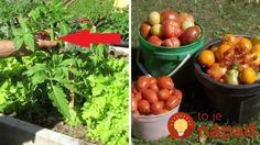 Toto urobte v júli, ak chcete viac rajčín:  Pestovateľ prezradil jednoduchý trik, ako naštartovať rajčiny k väčšej úrode! Gardening, Vegetables, Fruit, Garden Ideas, Lawn And Garden, Vegetable Recipes, Landscaping Ideas, Backyard Ideas, Veggies