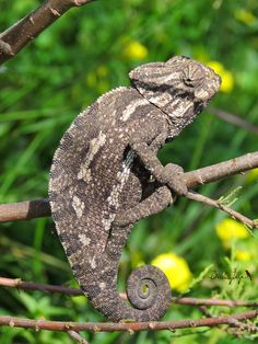 Meditarranean Chameleon, Camaleón común (Chamaeleo chamaeleon)