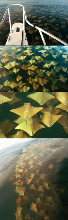 Cownose Ray's Mass Immigration- wanna see this before i die!
