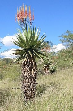Aloe littoralis in habitat near Windhoek Namibia Aloe Vera Tree, Pictures To Paint, Art Pictures, South African Flowers, Forest View, Plant Art, Painting Inspiration, Bonsai, Habitats