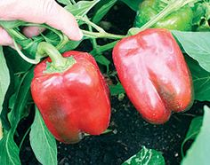 1 Red Beauty Pepper May 11th.