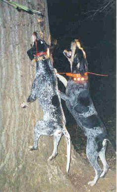 blue tick hounds in action English Coonhound, Bluetick Coonhound, Plott Hound, Hound Dog, Hunting Pictures, Dog Pictures, Blue Tick Beagle, Large Dog Breeds, Dogs And Puppies