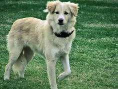 Australian Shepherd and Golden Retriever Mix.  Looks like Sam, wondering if the DNA test will reveal these 2 breeds.