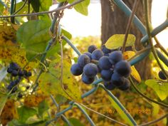 I found a wiled grape (ampelopsis?) while stroll today. #my photo #stroll