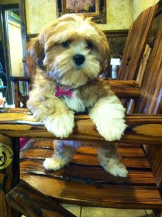 Lhasa Apso Puppies, Boxer Puppies, Cute Puppies, Dogs And Puppies, Adorable Dogs, Beautiful Dogs, Animals Beautiful, Cute Animals, Pet Dogs