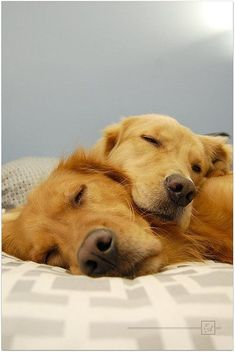 Precious Golden Retrievers   Image via flickr.com