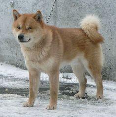 Hokkaido Inu dog pictures 681 JAPANESE BREED Cyra Stuff, 681 ...