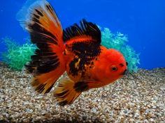 Lionhead Goldfish, Oranda Goldfish, Underwater Creatures, Ocean Creatures, Amphibians, Mammals, Comet Goldfish, Oscar Fish, Cool Fish