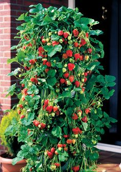 Growing Strawberries Vertically  5' by 2' diameter wire constuction gauge lined with burlap.   PVC with cap at bottom with holes drilled on sides placed centrally for watering.  Holes cut into burlap and plants inserted to grow.  reinsert runners into planter.