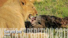 Lion and gnu. Masai Mara. Kenya 2011 year.
