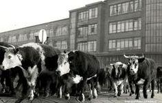 Die arme beestjes  Koemarkt Schiedam circa 1935