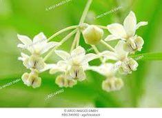 Gomphocarpus (Asclepias) fruticosa - Google Search Shrubs, Google Search, Medium, Plants, Shrub, Plant, Planets, Medium Long Hairstyles