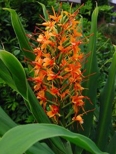 Hedychium coccineum 'Tara' - Tara ginger The Effective Pictures We Offer You About tropical garden i Tropical Flowers, Exotic Flowers, Tropical Plants, Tropical Gardens, Red Flowers, Fleur Orange, Orange Red, Blue Green, Growing Ginger