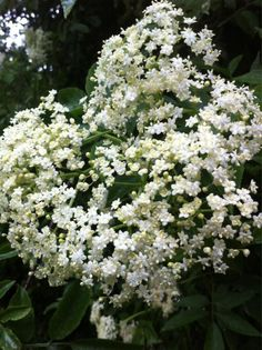 Elderflower, Herbs, Cottage, Seasons, Celebrities, Garden, Flowers, Plants, Celebs