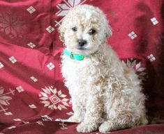 Get A New Puppy Today! View our ADORABLE Newborn Puppies Poodle Puppies For Sale, Newborn Puppies, New Puppy, Animals, Animales, Animaux, Animal, Animais