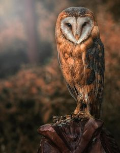barn owl by Detlef Knapp on 500px