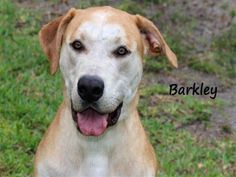 #FLORIDA ~ Barkley ID A578205 is a Neutered 2yo Labrador mix - if you look close you'll see a black lab, check out my coat. Those dark spots aren't dirt they're my inner black lab. I'm big, goofy clumsy & extremely LOVABLE. I'm still a #puppy in need of a loving #adopter / #rescue at LEE COUNTY ANIMAL SERVICES 5600 Banner Dr #FortMyers FL 33912 Ph 239-533-7387