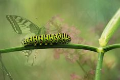 Fennel is a versatile garden gem that's easy to grow with few pests and diseases. Learn what you need to know about growing fennel. Plant Stem, Plant Leaves, Butterfly Facts For Kids, Butterfly Pictures, Growing Fennel, Garden Insects, Very Hungry Caterpillar, Green Plants, Beautiful Butterflies