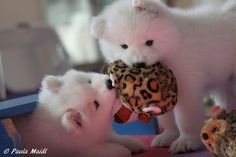 A friend's Samoyed puppies at play.