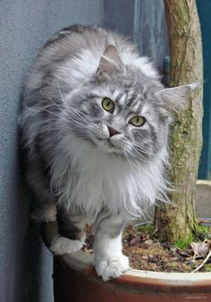 The Difference Between A Maine Coon & The Norwegian Forest Cat