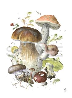 An Art Gallery of Botanical Artists and Illustrators with portfolios of their paintings, drawings and artwork. Forest Illustration, Plant Illustration, Botanical Illustration, Mushroom Images, Mushroom Art, Illustration Botanique, China Painting, Food Illustrations, Botanical Prints