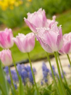 This beauty offers rose-pink flowers with delicately fringed edges. It's especially elegant paired with blue grape hyacinths for a fantastic color combination! http://www.bhg.com/gardening/flowers/bulbs/best-tulips-for-your-garden/?socsrc=bhgpin041615fancyfrills&page=23