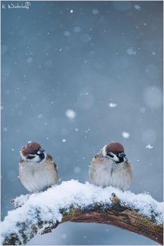 - Hard Times -  Feldsperling, Spatz, Passer montanus, Eurasian_Tree_Sparrow, Sperling, Moineau friquet, ringmus