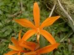 Orchid: Laelia marcaliana