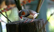 Zebra finch - Wikipedia, the free encyclopedia