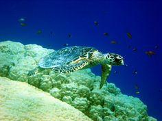 The Red Sea Turtle - Marsa Alam, Red Sea