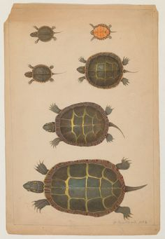 6 turtle drawings (5 top views, 1 bottom view) (1852) by The Ernst Mayr Library on Flickr.