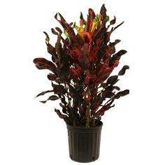 8-3/4 in. Croton Red Mammey in Pot