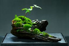 bonsai aquarium for moss Moss Terrarium, Terrarium Plants, Bonsai Plants, Bonsai Garden, Garden Plants, Water Terrarium, Herb Garden, Ikebana, Plantas Bonsai
