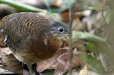 2-Crypturellus bartletti (Bartlett's Tinamou Un individual foraging on the forest ground.)