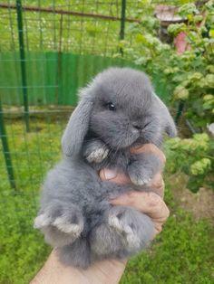Super Cute Animals, Cute Baby Animals, Animals And Pets, Cute Bunny Pictures, Baby Animals Pictures, Holland Lop Bunnies, Really Cute Dogs, Cute Husky, Cute Baby Bunnies